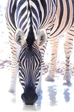 Drinkende zebra van Bobsphotography
