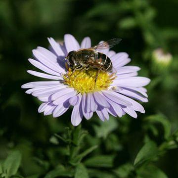 Bij op een paarse bloem van Lynn van Baaren