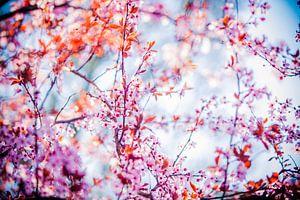 roze bloesem aan boom met blauwe lucht van