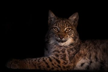 ein schöner Luchs liegt symmetrisch ein schönes schlankes Tier auf einem dunklen Hintergrund. von Michael Semenov