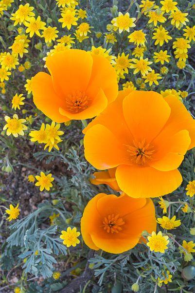 Bovenaanzicht van bloeiende bloemen in close-up, groeiend in Antelope Valley, Verenigde Staten van Nature in Stock