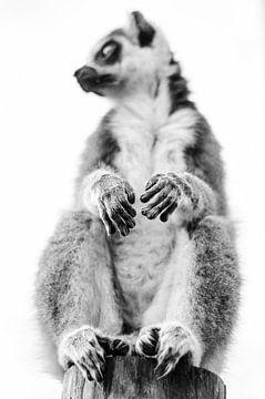 Ringstaartmaki van MaxDijk Fotografie