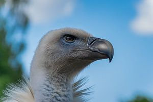 Close up van een gier