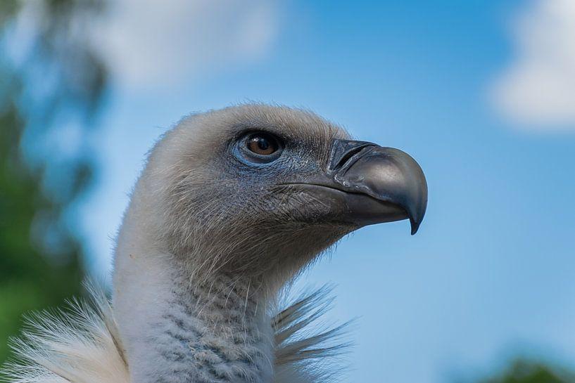 Close up van een gier van Patrick Verhoef