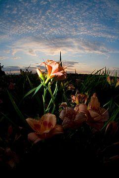 Roze lelie tegen zonsondergang, Venlo van Marcel Admiraal