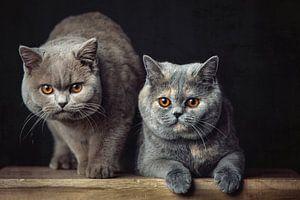 Deux très beaux chats British Shorthair posant sur un tabouret en bois sur Jan de Wild