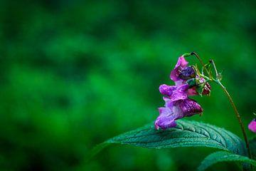 Violette Blume von Laura Reedijk