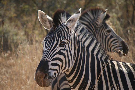 Zebra's Pilanesberg National Parc Zuid Afrika