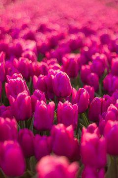 Paarse tulpen sur