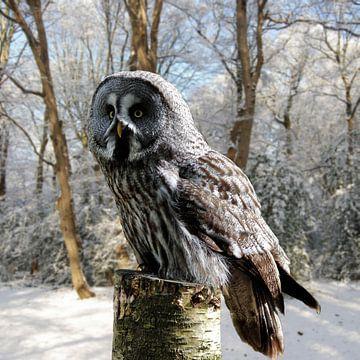 grey-owl-snow-forest van H.m. Soetens