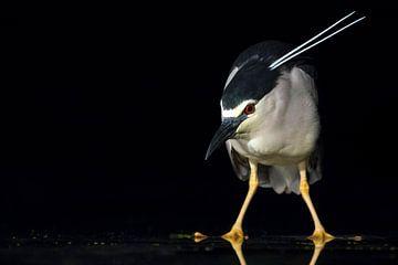 Quacksalber (Nycticorax nycticorax) von Beschermingswerk voor aan uw muur