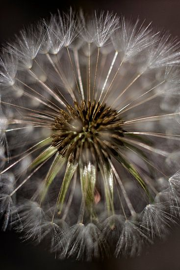 Horse-flower