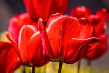 Rote Tulpen von Rob Boon