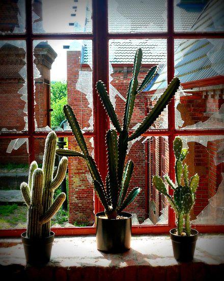 cactussen in venster raam in verlaten fabriek