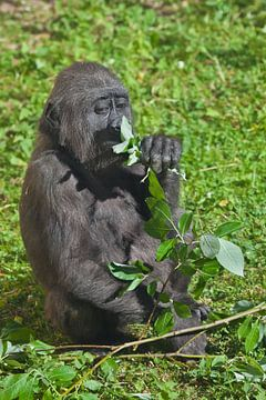 Ein süßer, sich berührender junger Gorilla-Teenager sitzt auf dem Gras und frisst Blätter, ein junge von Michael Semenov