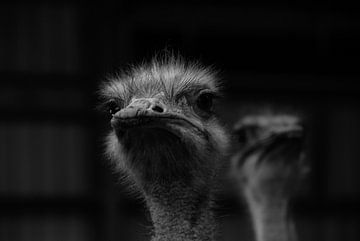struisvogels van Marcel Pietersen