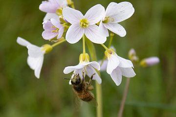 Une abeille occupée sur RedRoseFotografie
