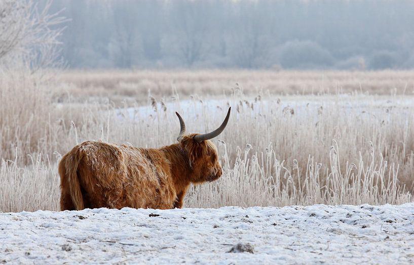 Cow van Anne Koop