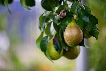 Peren op een perenboom net voor de herfst, de vruchten zijn rijp van Matthias Korn