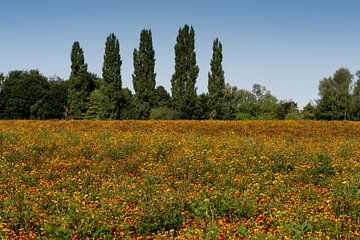 A field of orange marigolds in a wooded area. Walking outside in a beautiful area van Lieke van Grinsven van Aarle