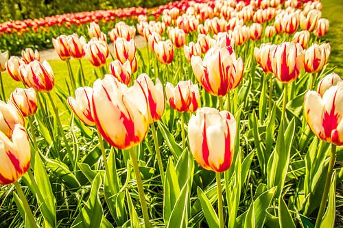 Meerkleurige tulpen