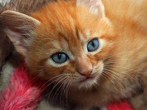 Rotes Kätzchen mit blauen Augen