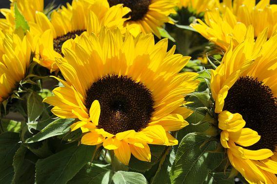 grote gele zonnebloemen van Compuinfoto .