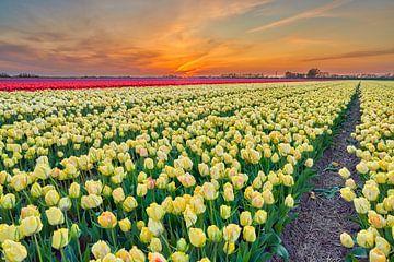 Zonsopkomst boven een bloembollenveld met Gele tulpen van eric van der eijk