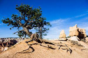 Baum im Bryce Canyon von Puck Bertens