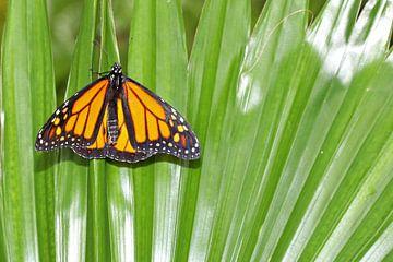 Monarch vlinder (Danaus Plexippus) sur Antwan Janssen