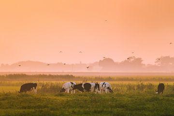 Grazende koeien sur