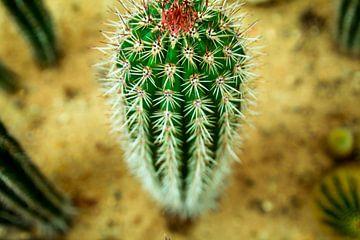 Cactus van Stedom Fotografie