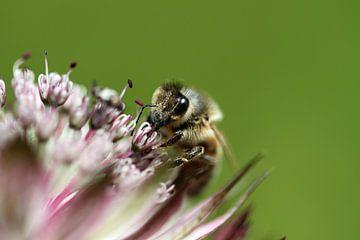 bij op bloem von Klaase Fotografie