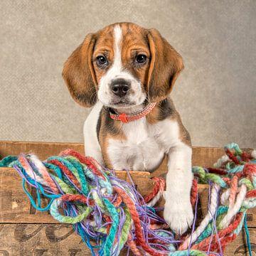 Beagle-Welpe von Tony Wuite