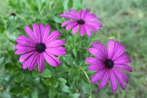 The Violet Daisies