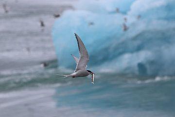 Noordse Stern vangt vis van Maarten Noort