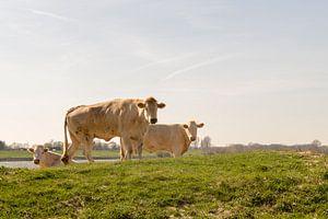 Blonde koeien in dewei bij Millingen aan de Rijn van E.M Hak