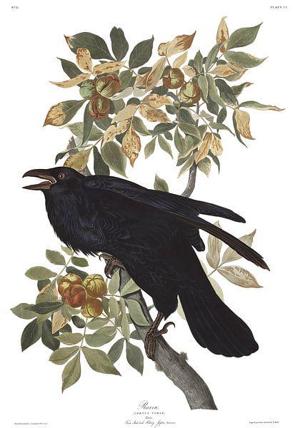 Raaf van Birds of America