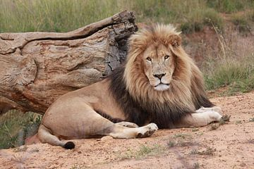 Löwen Männchen 9027 von Barbara Fraatz