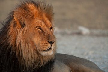Gouden leeuw van Guus Quaedvlieg