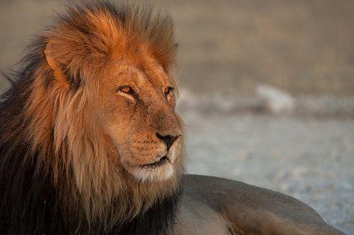 Gouden leeuw van