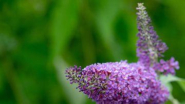 Buddleja davidii (vlinderstruik) von Annemarie Arensen