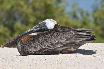 Bruine pelikaan (Pelecanus occidentalis) van Frank Heinen