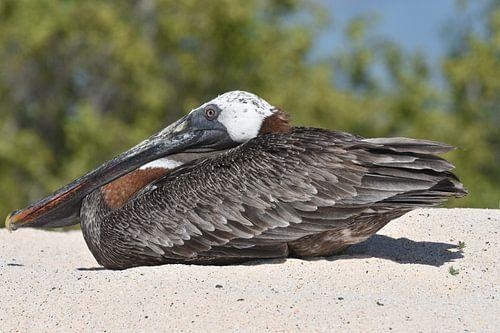 Bruine pelikaan (Pelecanus occidentalis)