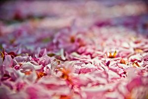 Roze Witte bloemblaadjes