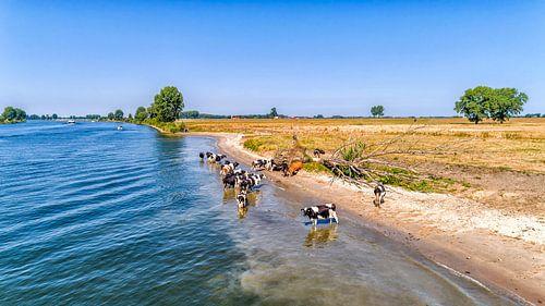 Koeien te water van Paul van Baardwijk