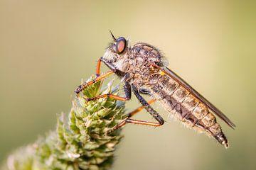 Roofvlieg / Robberfly von Harm Rhebergen