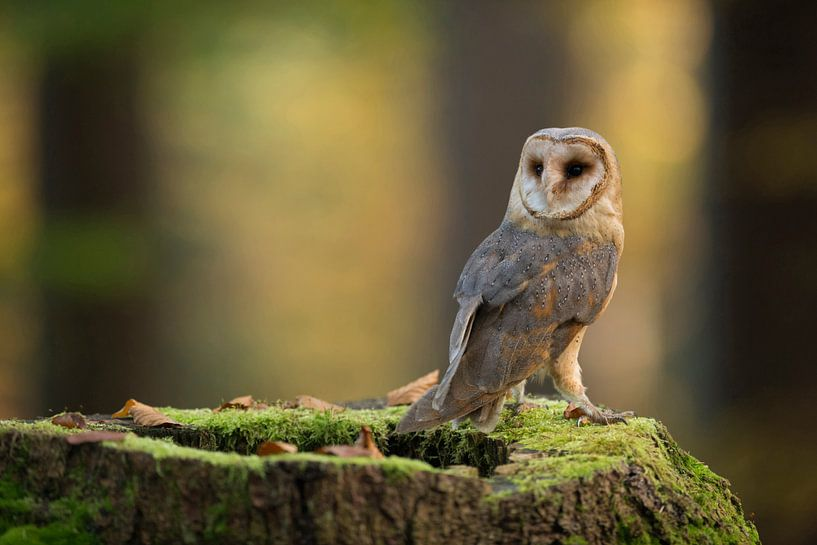 Barn Owl ( Tyto alba ) van wunderbare Erde