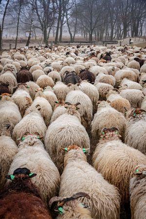 Schafherde auf dem Moor.