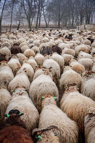 Schafherde auf dem Moor. von Jaap de Wit